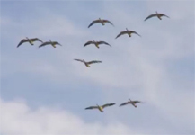 Arkansas Snow Goose TV
