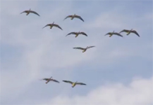 Arkansas Snow Goose Hunting TV